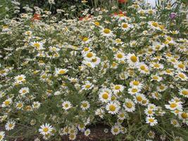 Kamillenpflanze Chamamelum weiße Blume foto