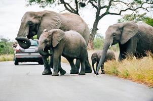 Elefantenherde überqueren die Straße im südafrikanischen Nationalpark foto