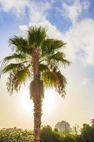 palmen kokospalmen sonnenaufgang kanarische spanische insel teneriffa afrika. foto