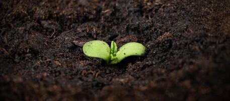 Cannabispflanze wächst, ein kleiner grüner Marihuana-Spross mit Boden foto