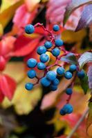 Kletterpflanze Wildwein - Pathenocissus quinquefolia foto
