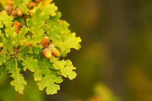 Äste von Eichelbäumen auf einem unscharfen Hintergrund foto