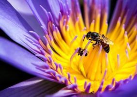 Biene im blauen Blütenblatt und gelben Pollen der Seerose foto