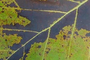 Nahaufnahme der grünen Blatthintergrundbeschaffenheit des Teakholzes, butea monosperma foto