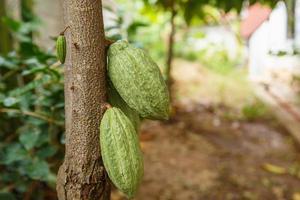 frische grüne ungeerntete Kakaoschoten foto