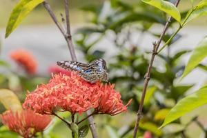 großer blauer Segelschmetterling Parthenos Sylvia auf roten rosa Blumen. foto