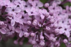 Blühender Flieder in meinem Garten foto