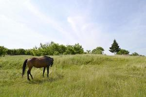 schöner wilder brauner pferdehengst auf sommerblumenwiese foto