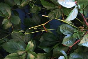 grüne Blätter einer Blume und Efeupflanze im Hintergrund. foto