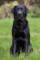 schwarzer Labrador sitzt auf grünem Gras foto
