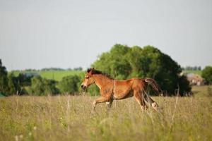 kleines Fohlen läuft auf dem Feld foto