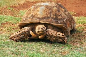 große braune schildkröte im zoo foto