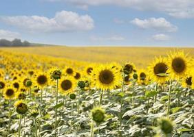 schöne Sonnenblumen im Feld, natürlicher Hintergrund foto