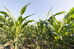 Maisfeld, Landwirtschaftskonzept foto