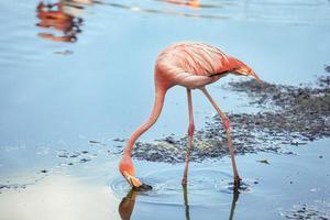 Flamingos fressen im Wasser foto