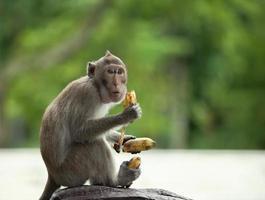 Affe hält drei Bananen foto