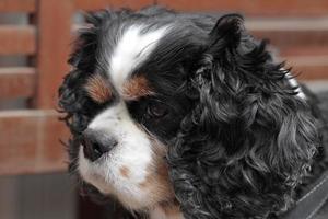 König Charles Typ langohriger, zahmer Haushund foto