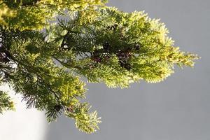 Hintergrundbilder aus Kiefer für grafische Arbeiten. foto