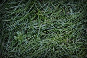 Nahaufnahmen von verschiedenen grünen Gräsern für grafische Arbeiten foto