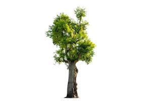 Baumstrauch isoliert auf weißem Hintergrund foto