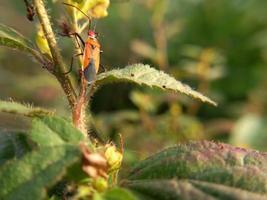 rotes Insekt mit langen schwarzen Beinen, das auf grünem Blatt läuft foto