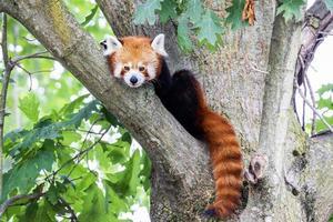 süßer roter Panda ruht faul auf einem Baum foto