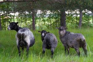 drei Schafe hintereinander foto