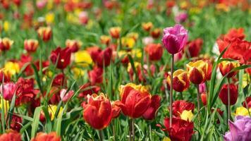 bunte Tulpenwiese in der Nähe von Krasnodar, Russland foto