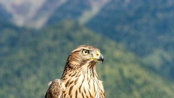 Nahaufnahme des schönen Falken. Herbst in Abchasien foto