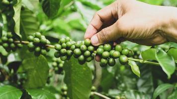 Ein Kaffeeplantagenbauer kümmert sich um die Kaffeebohnen auf der Pflanze. foto