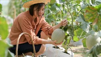 Bäuerinnen pflücken Melonen im Garten. foto
