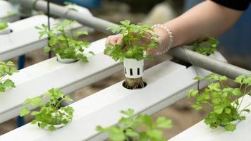 Eine junge Bäuerin baut in einem Gewächshaus Hydrokultur-Gemüse an. foto