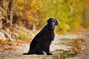 Retriever sitzt auf dem Hintergrund der Herbstblätter foto
