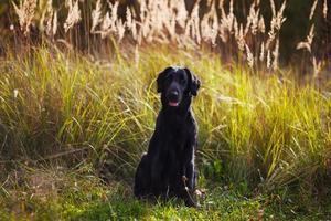 Black Retriever sitzt inmitten von hohem Gras foto