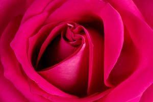 Hintergrund aus frischer rosa Rose foto