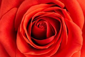 Hintergrund aus frischer scharlachroter Rose foto