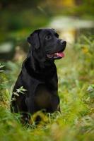 schwarzer Labrador sitzt im Gras foto