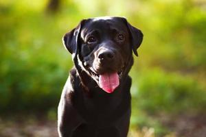 schwarzer Labrador sitzt und schaut in die Kamera foto