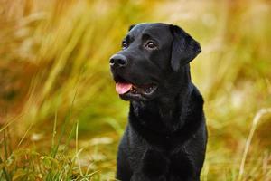schwarzer Labrador auf einem Hintergrund von Gras foto