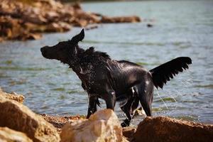 Retriever schüttelt Wasser am Ufer ab foto