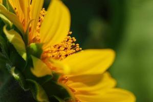 große Sonnenblume im Garten foto