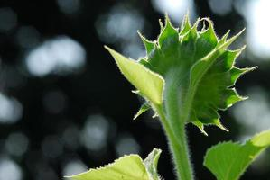 Sonnenblume junge Knospe blüht, Makro, Nahaufnahme foto