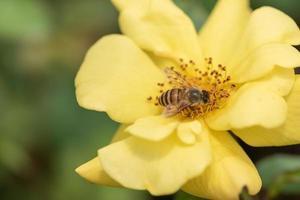 gelbe Rosen auf grünem Hintergrund foto