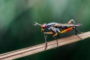 Nahaufnahme von Megachilidae auf den Blättern. Schwarze Biene transportiert Pollen foto