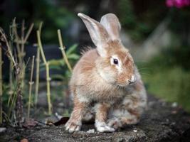 lokales Kaninchen mit dicker brauner Farbe foto
