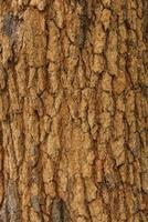 Textur der Baumrindenhaut die Rinde eines Baumes, die Rissbildung verfolgt foto