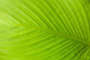 abstrakte Textur des grünen Blattes mit Licht von hinten. foto