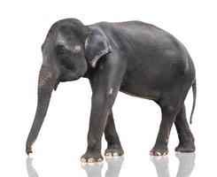 großer grauer Elefant foto