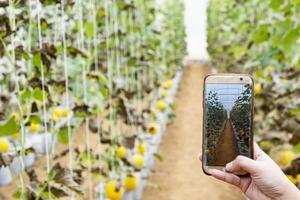 Bauer beobachtet einige Fotomelonen, die im Handy abgelegt sind foto