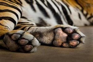 Fuß des asiatischen Tigers schläft. foto
